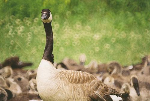 geese-donut-bokeh-mirror-lens